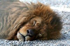 препятствуемый спать львов лож Стоковое Изображение RF