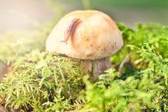 Препятствуйте на шляпе гриба в зеленом мхе Стоковые Фото