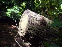 Прерванный вниз с пня дерева в свете в лесе Стоковые Фото