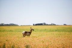 прерия антилопы Стоковая Фотография