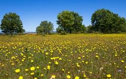 Прерия весны обитая с желтыми цветками и разбросанными деревьями Стоковая Фотография