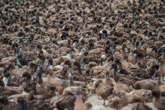 Прерия и утки Стоковые Изображения RF