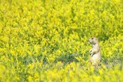 прерия поля собаки Стоковое Изображение