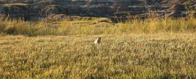 1 прерия собаки Стоковое Изображение RF
