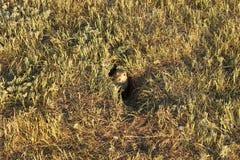 1 прерия собаки Стоковая Фотография