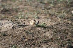прерия собаки Стоковое Фото