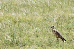 Прерия травы птицы shorebird Curlew Стоковое Изображение