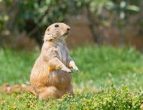 прерия травы собаки Стоковое Изображение