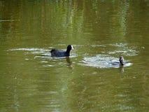 Преследование птицы на зеленой воде Стоковое Фото