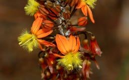 Преследовать bulbine, цветок змейки, завод студня ожога, frutescens Bulbine Стоковые Фотографии RF