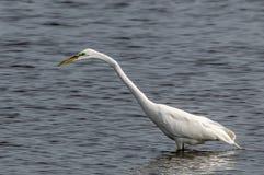 преследовать egret стоковые фотографии rf