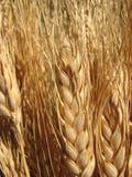 преследует пшеницу стоковое изображение rf