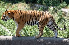 преследуя тигр Стоковые Изображения