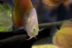 Пресноводная рыба диска Стоковые Фото