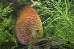 Пресноводная рыба диска Стоковое Фото