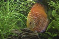Пресноводная рыба диска Стоковые Изображения