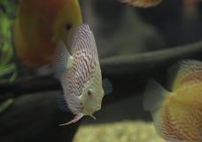 Пресноводная рыба диска Стоковая Фотография RF