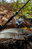 Пресноводная рыба щуки лежит на деревянной пеньке и рыболовной удочке с Стоковые Фотографии RF