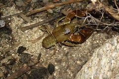 пресноводное crayfish европейское Стоковая Фотография RF