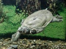 Пресноводные заплывы trionix китайца черепахи под концом воды вверх стоковая фотография