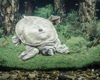 Пресноводные заплывы trionix китайца черепахи под концом воды вверх стоковое изображение rf