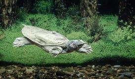 Пресноводные заплывы trionix китайца черепахи под концом воды вверх стоковое фото rf