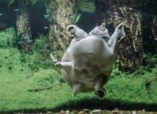 Пресноводные заплывы trionix китайца черепахи под концом воды вверх стоковые изображения rf