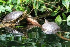 2 пресноводных черепахи отдыхая на имени пользователя пруд Стоковые Фотографии RF