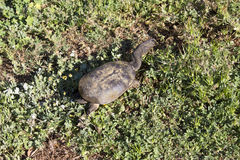 Пресноводная длинная Necked черепаха болота Стоковое фото RF
