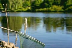 Пресноводная рыба как раз принятая от воды на удя линии сверх на сеть посадки против естественного ландшафта, внешнюю воду Стоковое Фото