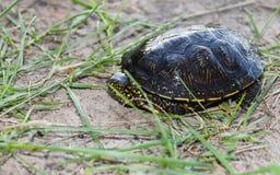 Пресноводная черепаха Стоковые Фотографии RF