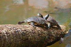 Пресноводные черепахи Стоковое фото RF
