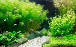 Пресноводный аквариум Стоковое Изображение