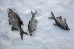 Пресноводный лещ (brama лещи) лож Россия transbaikalia льда рыболовства рыб как раз поглотили зиму Стоковая Фотография RF