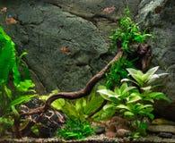 Пресноводный зеленый аквариум Стоковое Изображение RF