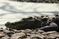 Пресноводный крокодил стоковые фотографии rf