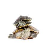2 пресноводных красно-ушастых черепахи на белизне Стоковое Изображение