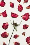 Пресса высушила розовый цветок с лепестками, на белой бумаге, винтажный тон Стоковые Фотографии RF