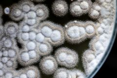 Прессформа красивая, колония характеристик грибной прессформы в плите культурной среды от лаборатории стоковая фотография
