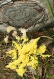 Прессформа шлама, septica Fuligo, также обыкновенно известное как прессформа шлама взбитого яйца или шлама рвоты собаки Стоковые Фотографии RF