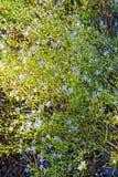 Прессформа smitinandii Eriocaulon красота цветка с bokeh Стоковое фото RF