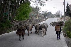 2 престарелое носят ветви на их задних частях с коровами, буйволом и ветчиной идя на улицу Стоковое Изображение RF