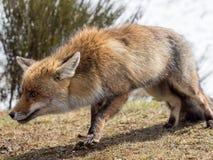 Преследовать красной лисы (лисицы лисицы) стоковые фотографии rf