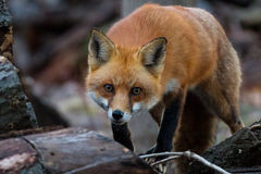 Преследовать красной лисы стоковая фотография