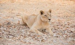 Преследовать тигра Стоковые Фото