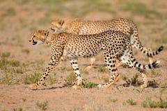 Преследуя гепарды Стоковые Изображения RF