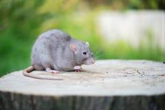 Прелестная серая крыса любимчика представляя outdoors стоковое изображение rf