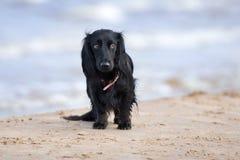 Прелестная собака таксы на пляже Стоковые Изображения
