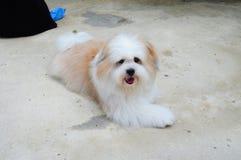 Прелестная собака tzu shih стоковые фото