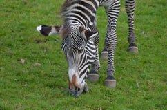Прелестная сторона зебры пася на равнинах Стоковые Фото